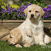 Yellow Labrador Puppies Poster