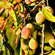 Yellow Plums Poster