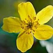 Yellow Wood Anemone Poster