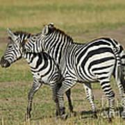 Zebra Males Fighting Poster