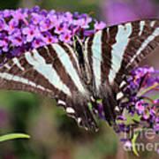 Zebra Swallowtail Butterfly At Butterfly Bush Poster