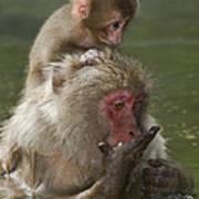 Snow Monkeys, Japan Poster