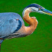 Great Blue Heron Poster