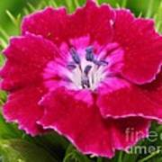 Sweet William From The Super Duplex Bluepoint Mix Poster