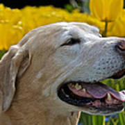 Yellow Labrador Poster