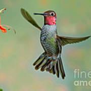 Annas Hummingbird Poster