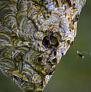 Bald-faced Hornet Nest Poster