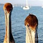 California Pelicans Poster