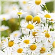 Chamomile Flowers Poster by Elena Elisseeva