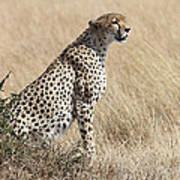 Cheetah Searching For Prey Poster