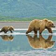 Coastal Brown Bear Pictures Poster