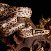 Colombian Rainbow Boa Epicrates Maurus Poster