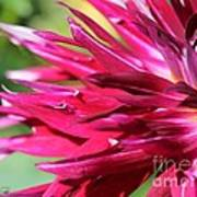 Dahlia Named Normandy Wild Willie Poster