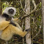 Diademed Sifaka Madagascar Poster