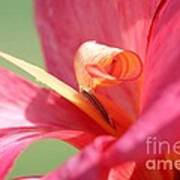 Dwarf Canna Lily Named Shining Pink Poster