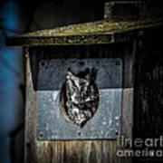 Eastern Screech Owl  Poster