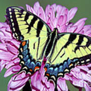 Eastern Tiger Swallowtail Butterfly Poster