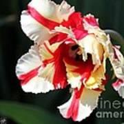 Flaming Parrot Tulip Poster