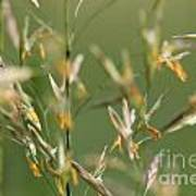 Flowering Brome Grass Poster