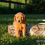 Golden Retriever Puppies Poster by Linda Freshwaters Arndt