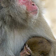 Japanese Macaques Poster