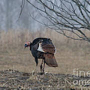 Male Eastern Wild Turkey Poster