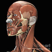 Muscles Of The Head And Neck Poster