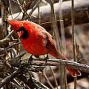 Northern Cardinal Male Poster