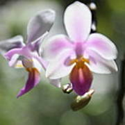Orchids Dance Poster