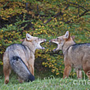 Patagonian Red Fox Poster