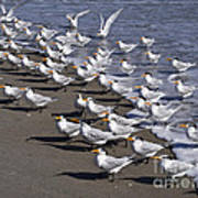 Royal Terns On The Beach At Indialantic In Florida Poster