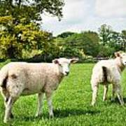 Sheep In Field Poster