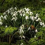 Snowdrop Woods Poster