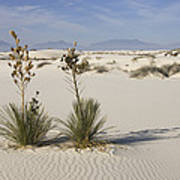 Soaptree Yucca In Gypsum Sand White Poster