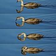 4 Swan Poster
