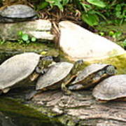 4 Turtles On A Log Poster