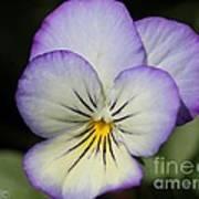 Viola Named Sorbet Lemon Blueberry Swirl Poster