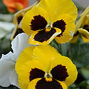 Viola Tricolor Heartsease Poster