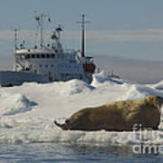 Walrus Resting On Ice Floe Poster
