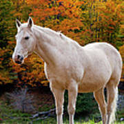 White Horse In Autumn Poster