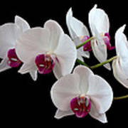 White Orchids Poster