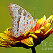 White Peacock Butterfly Poster