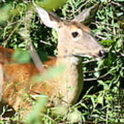 White Tailed Deer Portrait Poster