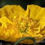 Yellow Iceland Poppy Poster