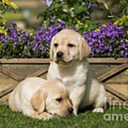 Yellow Labrador Puppies Poster