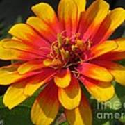 Zinnia Named Swizzle Scarlet And Yellow Poster