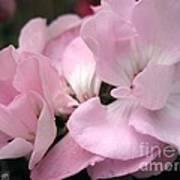 Zonal Geranium Named Tango Light Orchid Poster