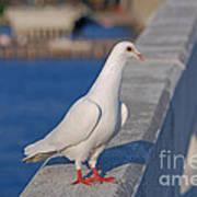 21- White Dove Poster