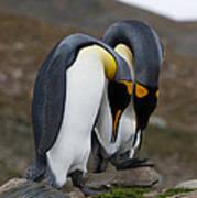 King Penguins Poster