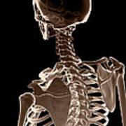 Bones Of The Upper Body Poster